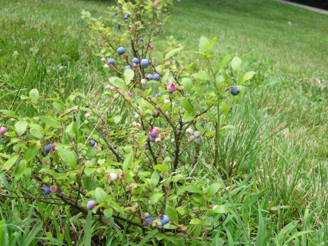 My blueberry plants are yielding berries this year!